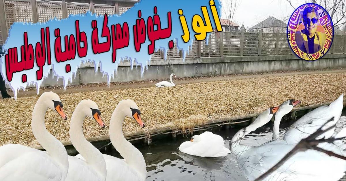 طائر الوز يخوض معركة حامية الوطيس في بحيرة - كوبنهاكن / Geese in an exciting battle - Copenhagen